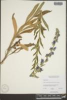 Echium vulgare image