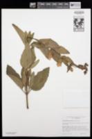 Lepechinia calycina image