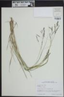 Panicum hians image