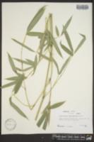 Image of Phyllostachys rubromarginata