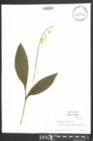 Image of Convallaria montana