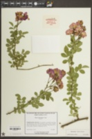 Rosa wichuraiana image
