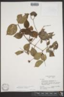 Philadelphus inodorus image
