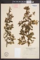 Image of Rubus andrewsianus