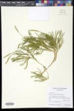 Diphasiastrum sabinifolium image
