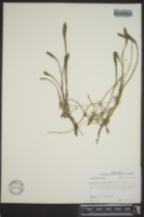 Lilaeopsis carolinensis image