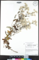 Pseudognaphalium biolettii image
