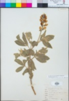 Thermopsis gracilis image
