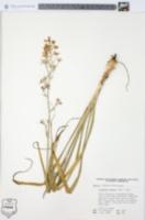 Zigadenus glaucus image