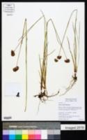 Juncus regelii image