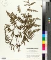 Image of Acystopteris japonica