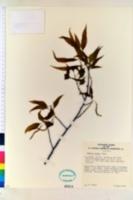 Image of Quercus chenii