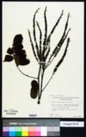 Image of Amorpha paniculata