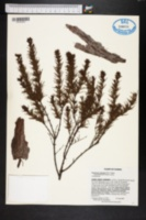 Image of Hypericum chapmanii