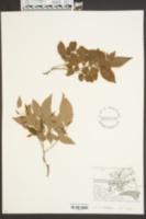 Image of Rhododendron eriocarpum
