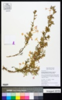 Ipomopsis macrosiphon image