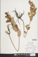 Hypericum virginicum image