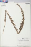 Lespedeza cuneata image