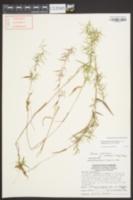 Dichanthelium dichotomum var. ramulosum image