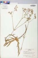 Silene coronaria image