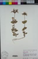 Draperia systyla image