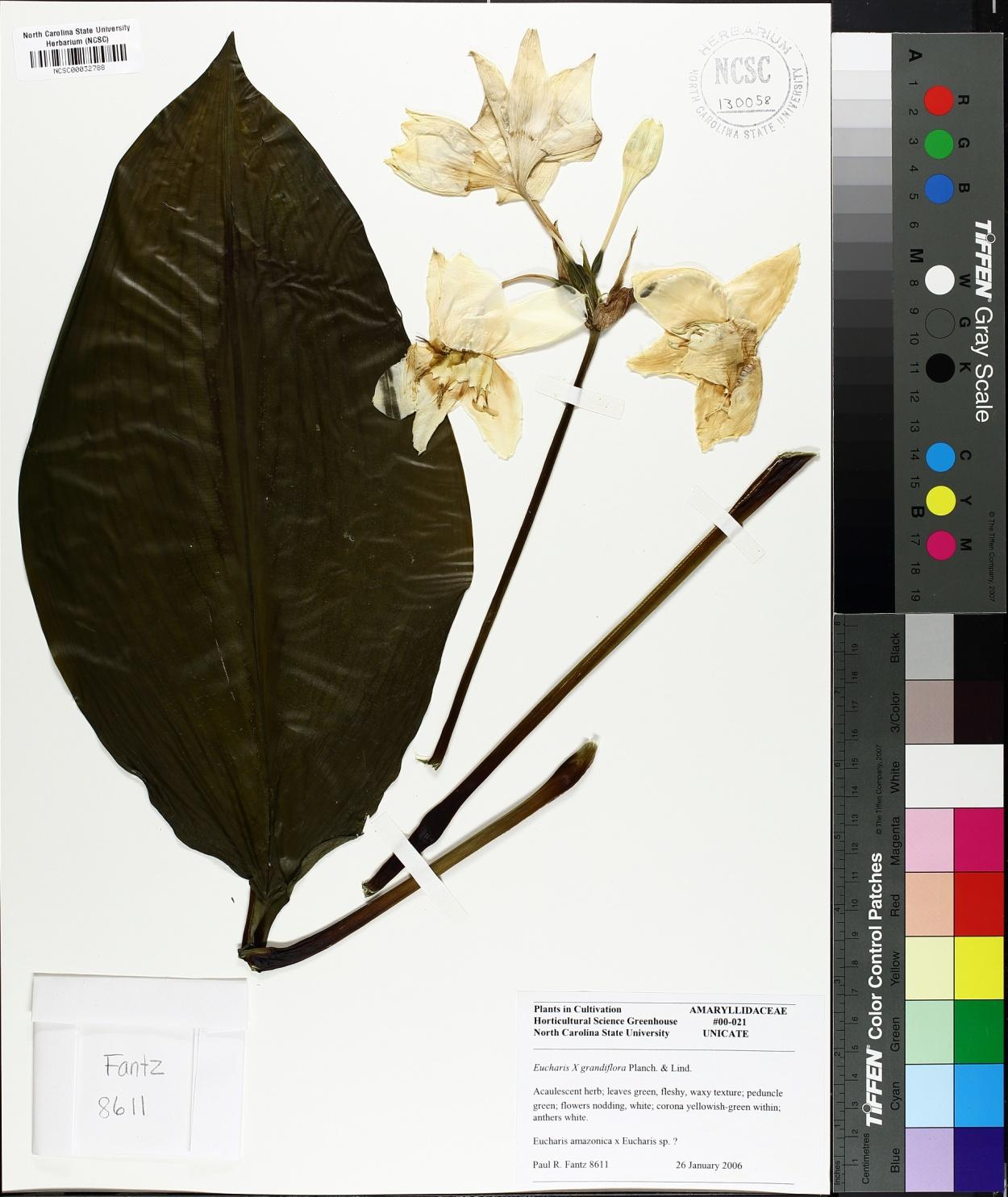 Eucharis x grandiflora image