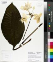 Image of Eucharis x grandiflora
