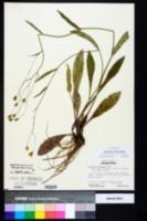 Image of Hieracium x scribneri