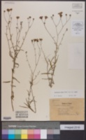 Palafoxia rosea image