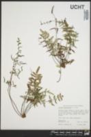 Pellaea atropurpurea image