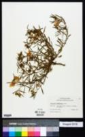 Calylophus berlandieri image