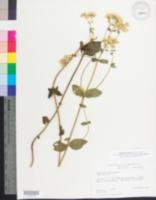 Image of Eupatorium aromaticum