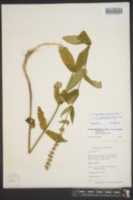 Image of Stachys glandulosissima