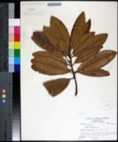 Image of Syzygium aromaticum