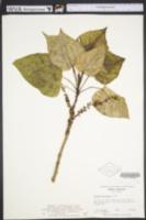 Image of Populus jackii