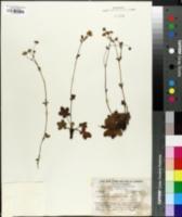 Image of Potentilla ranunculoides