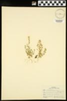 Draba brachycarpa image