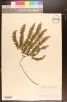 Image of Adiantum myriosorum