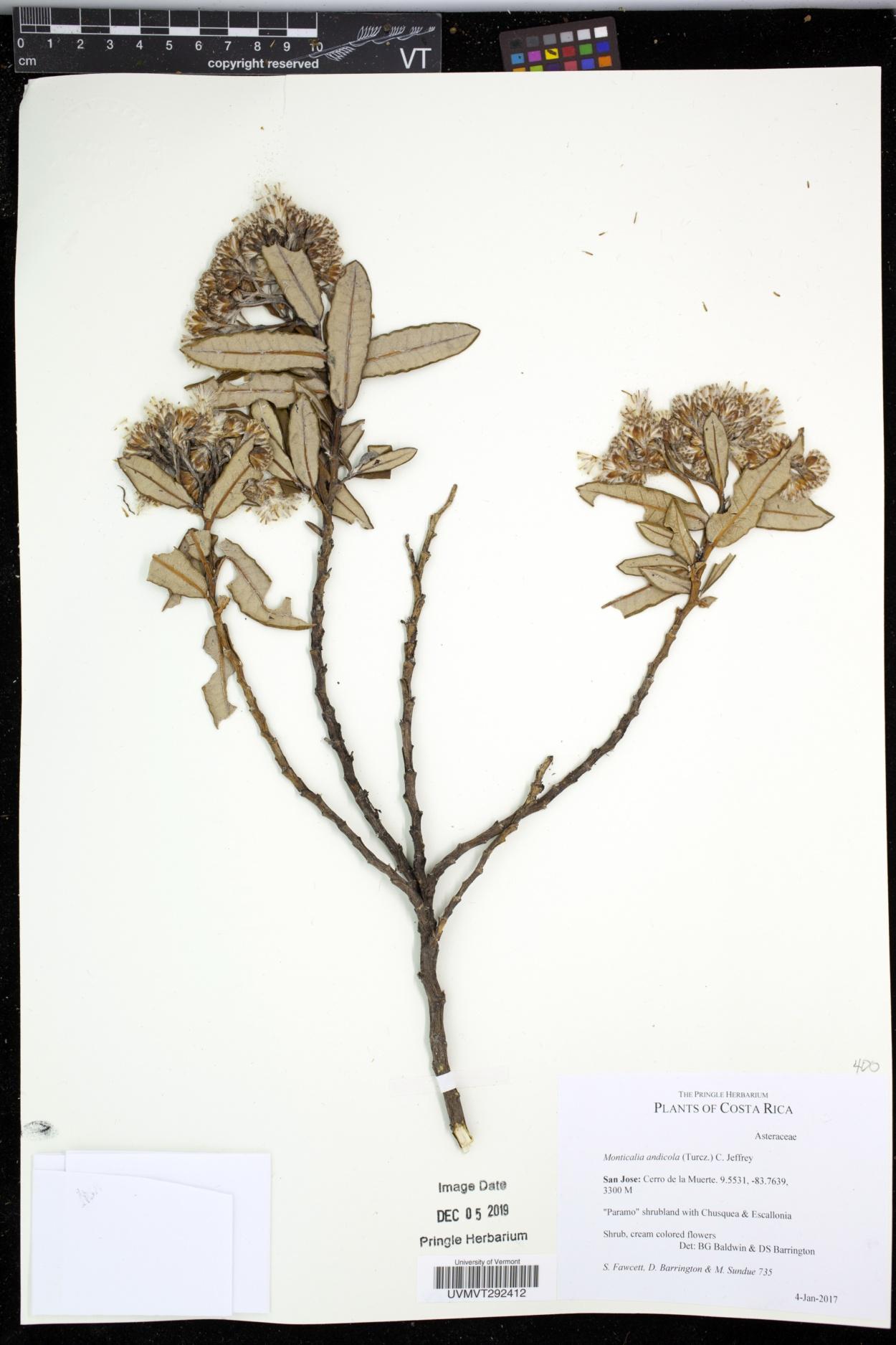 Monticalia andicola image