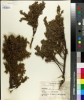 Image of Juniperus nana