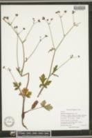 Image of Sanicula crassicaulis
