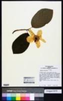 Magnolia sieboldii image