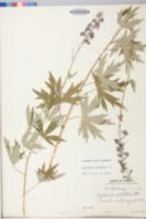 Delphinium exaltatum image