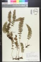 Image of Lindsaea cultrata