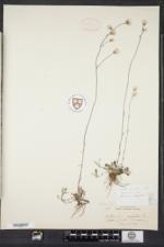 Antennaria neglecta image