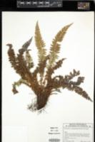 Image of Polystichum acanthophyllum