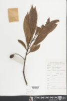 Image of Elaeocarpus duclouxii
