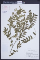 Image of Sophora flavescens