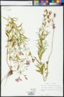 Rhexia virginica image