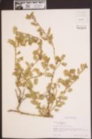 Tribulus cistoides image